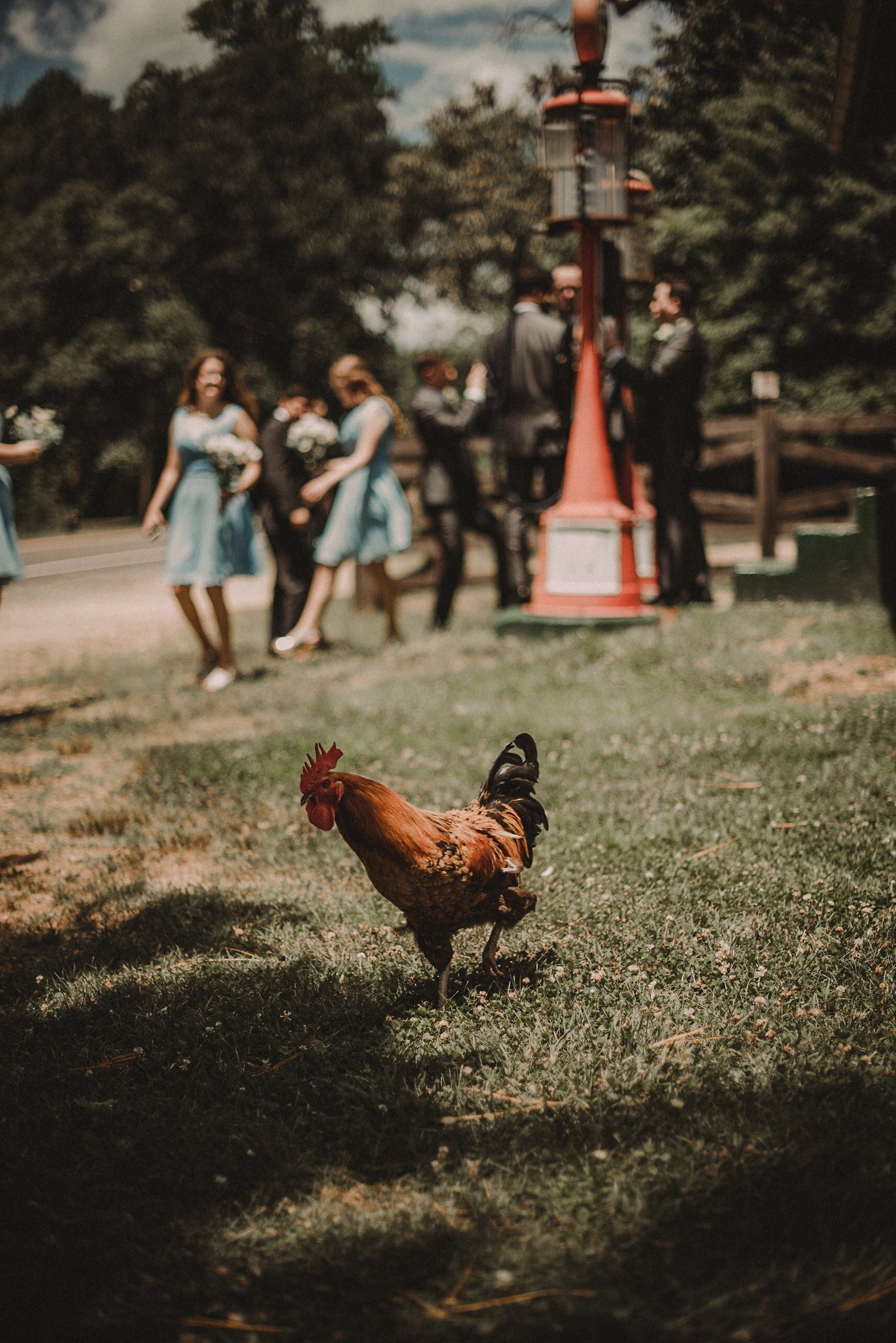 Rooster and bridal party
