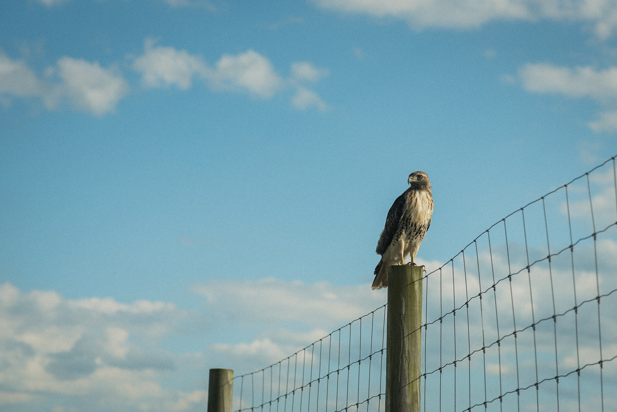 Hawk sitting on fence post