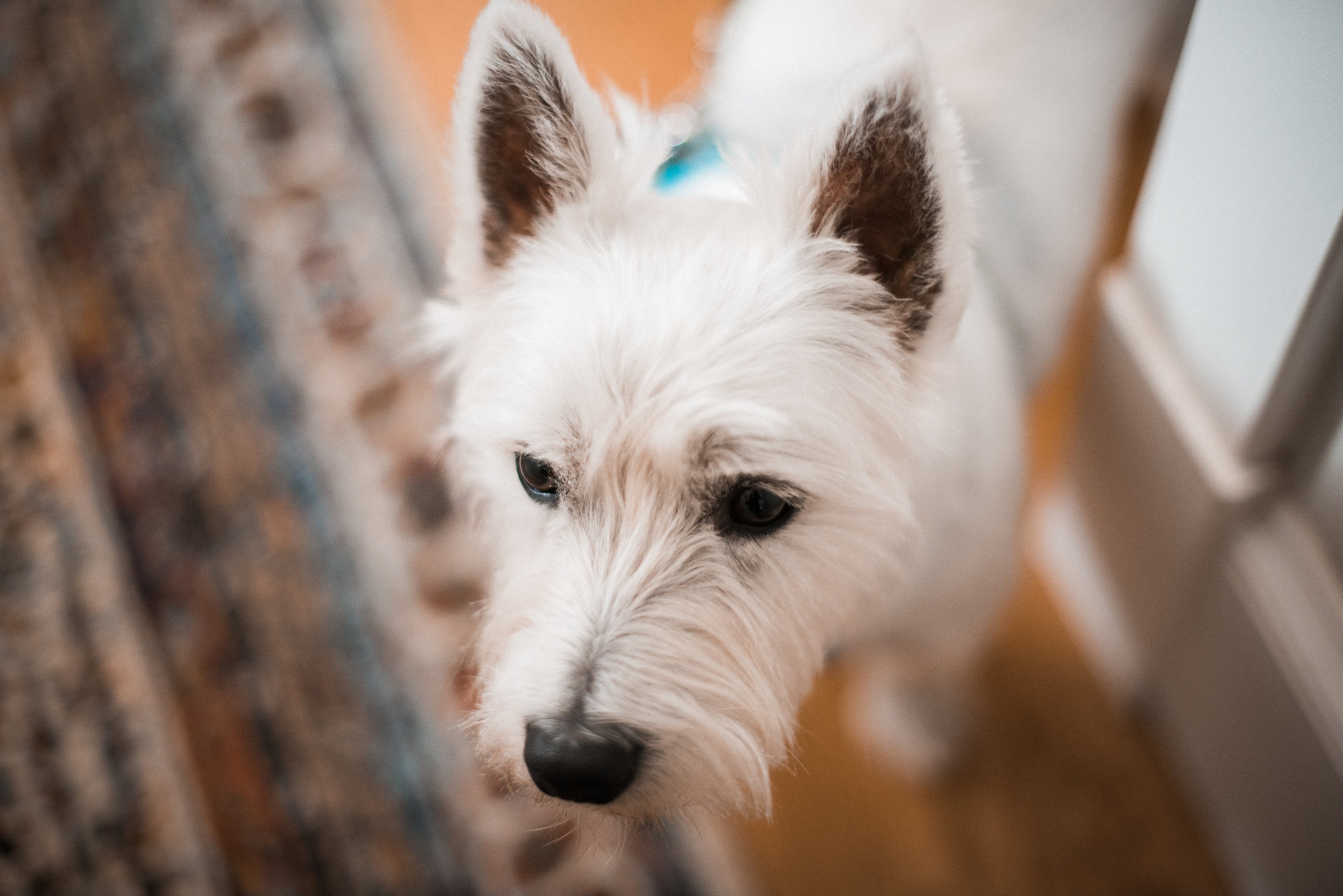 Small white dog at door