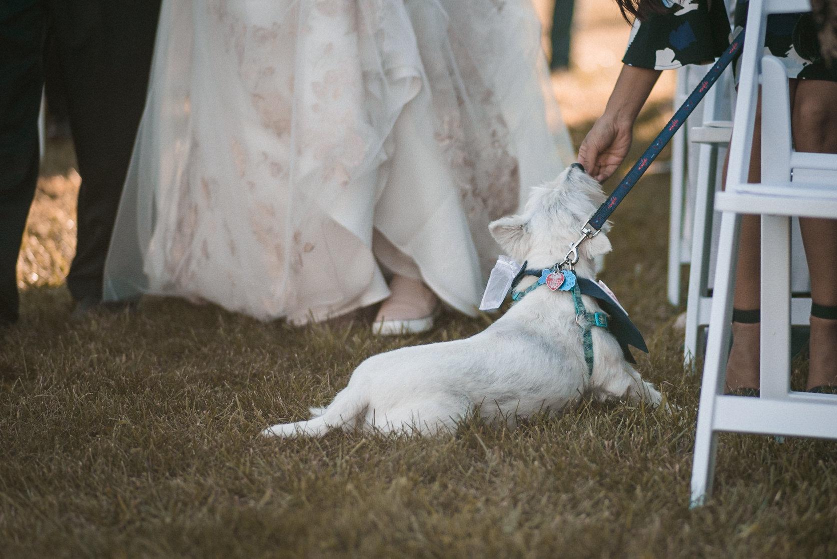 Dog on wedding aisle