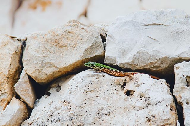 Oh hey there friend,  happy summer Friday!  This lizard played an entertaining game of hide and seek with me as I was trying for a photo.  Luckily I was able to snap a few before it disappeared in the crevices of this trulli.  I feel like this summer might disappear on me too if I don't pay more attention... #lizards #southernitaly #puglia #lizardsofitaly #summerfridays #yaysummer #ostuniartresort