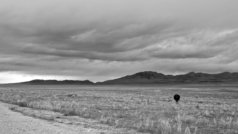 Lone bovine sentry