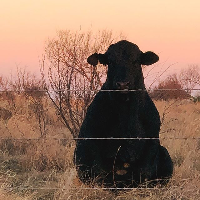 Ferdinand, watching the sun set in North Texas. #moo
