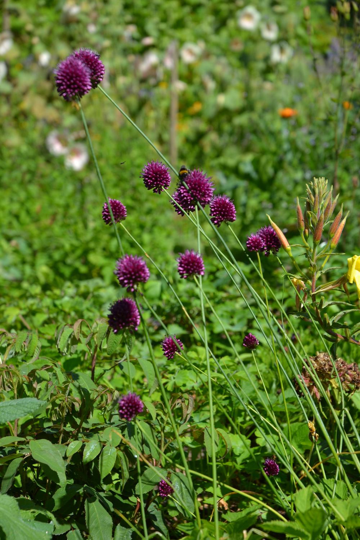 Allium_Uckermark.jpg