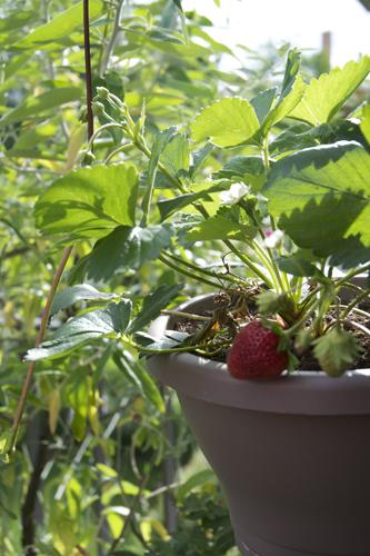Erdbeeren auf Balkon Berlin