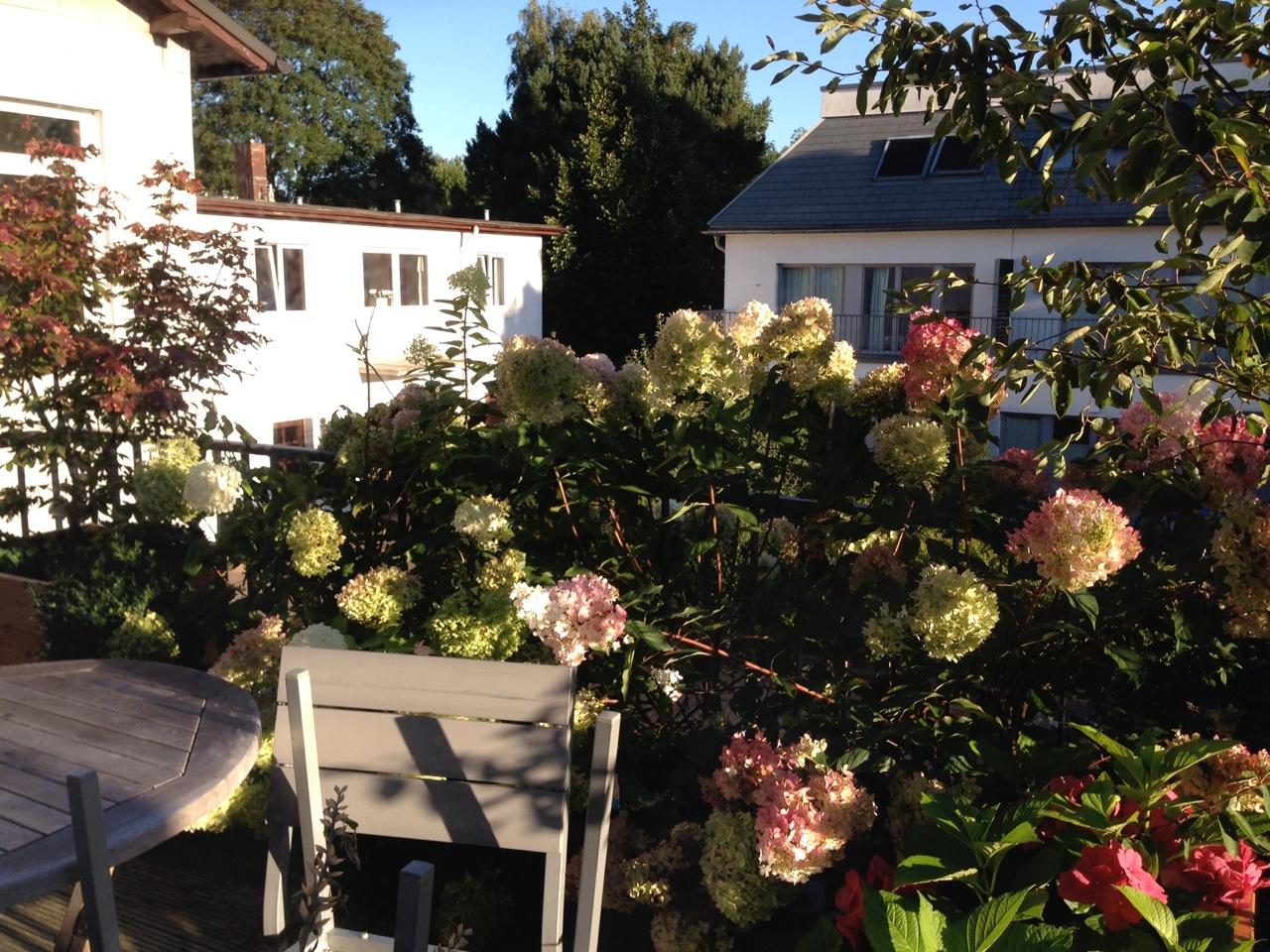 Hortensien auf Dachterrasse, Hamburg