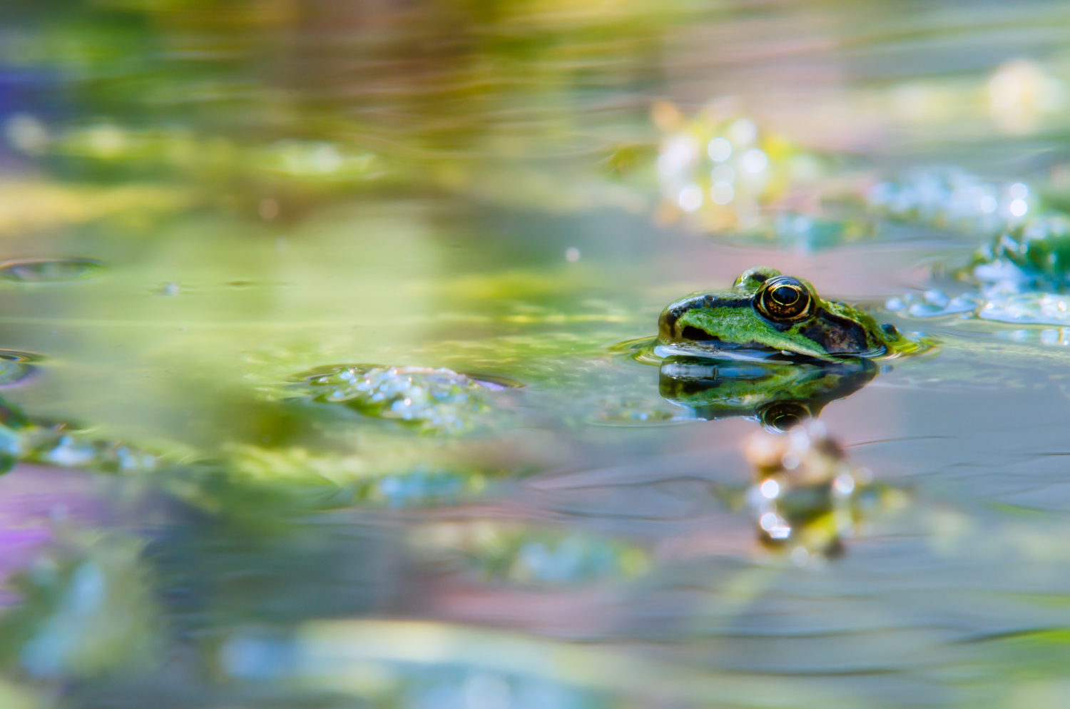 Frog in the pond reflecting beautiful colors of the flowers on the far bank. Exposure: 1/200 sec @ f/11 ISO 200, 200mm