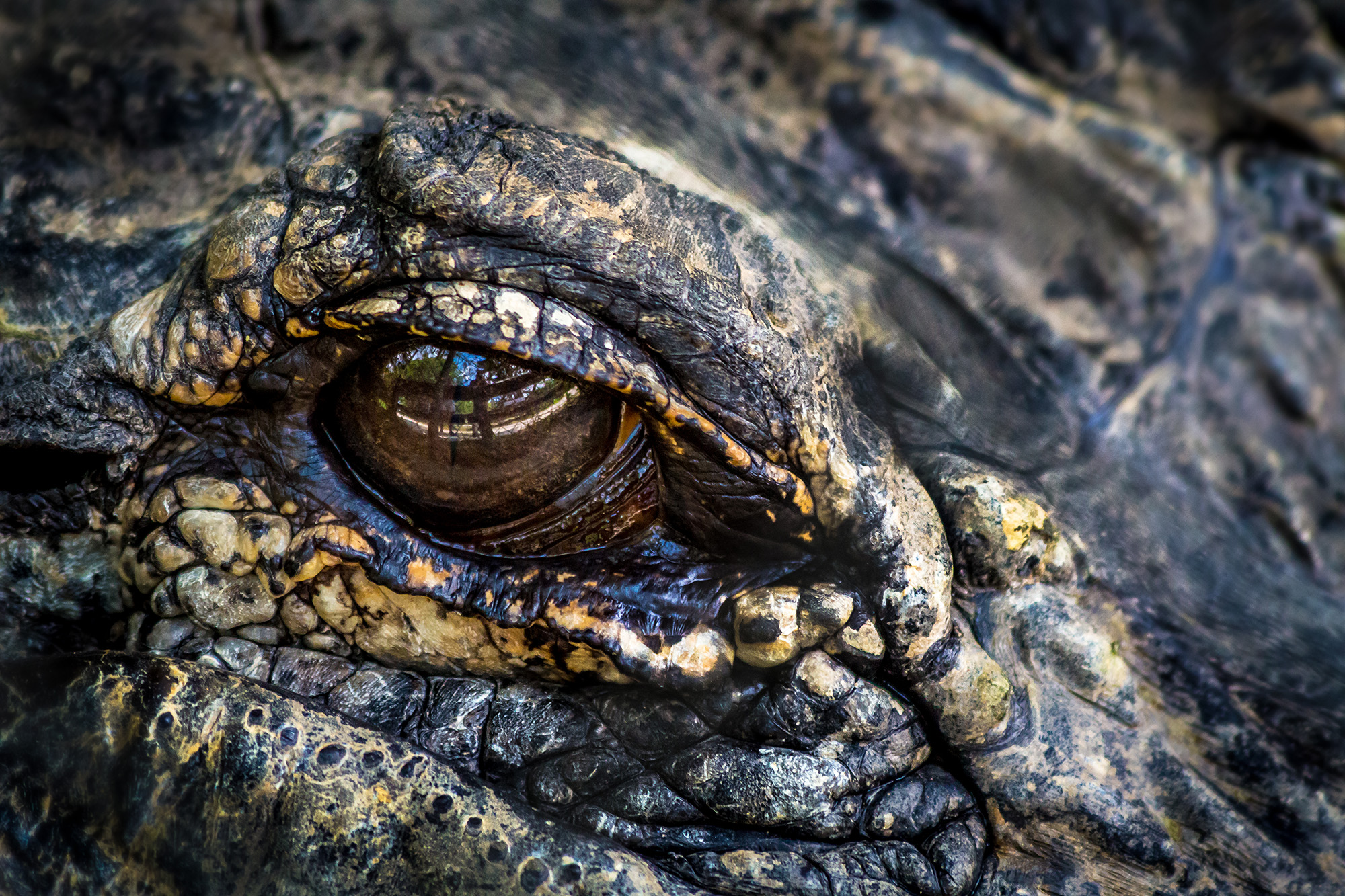 Alligator's eye