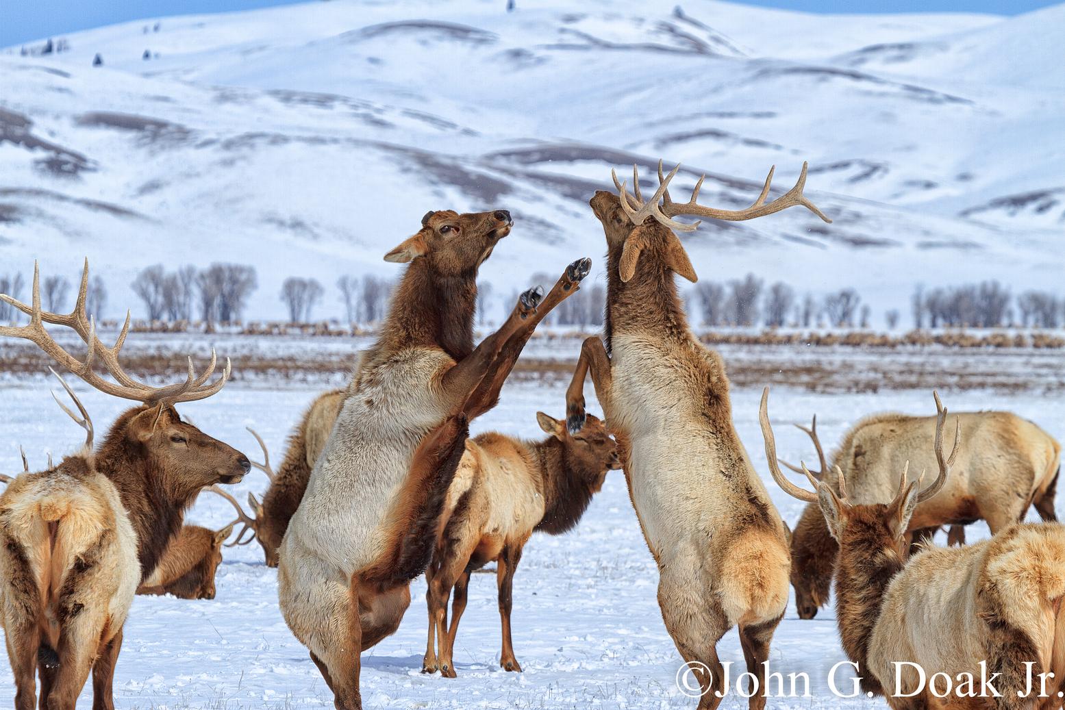 Elk playtime