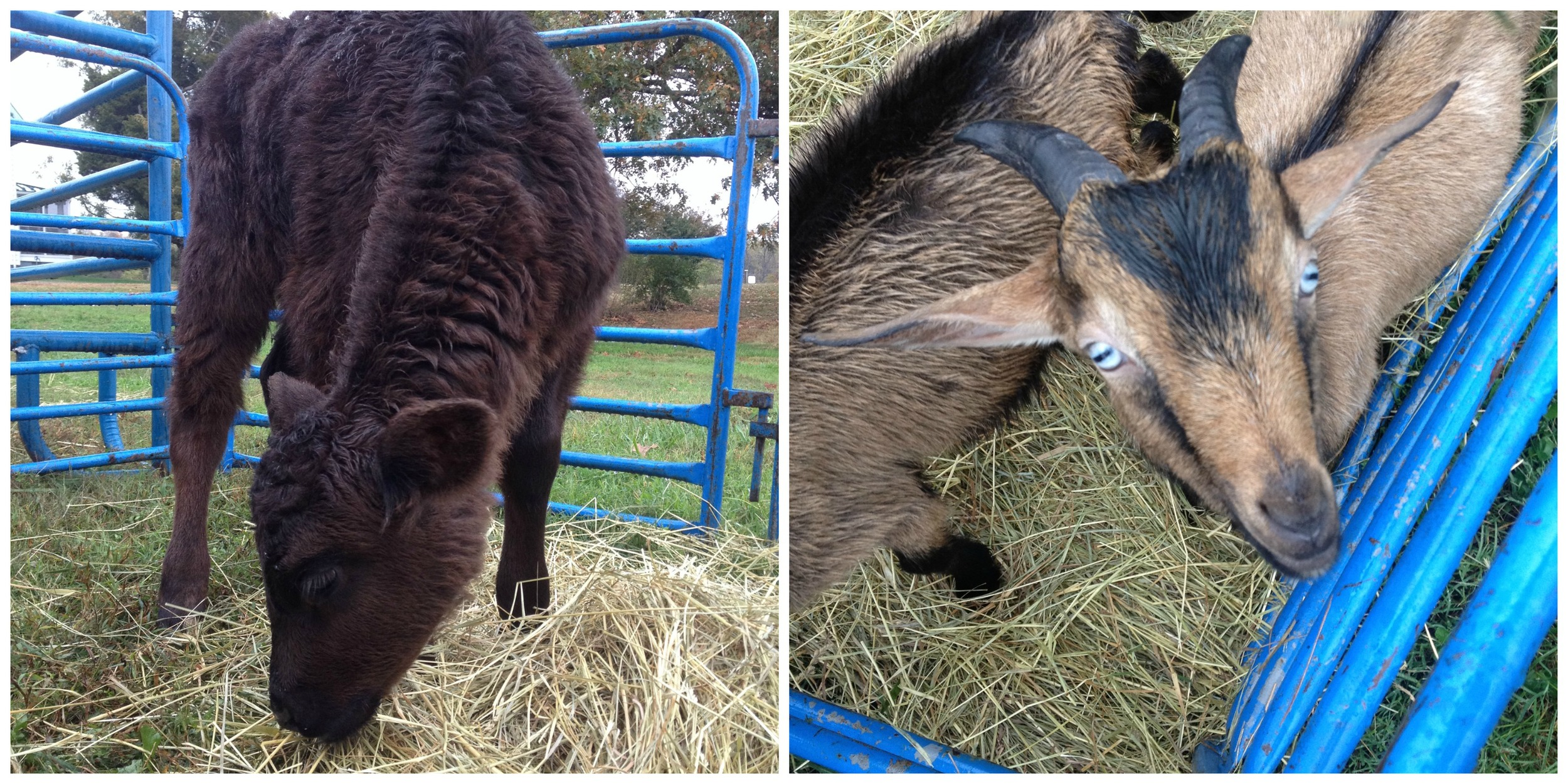 A few of the animals in the farm animal petting zoo the day of the opening.