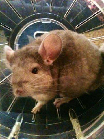 chinchilla2.jpg