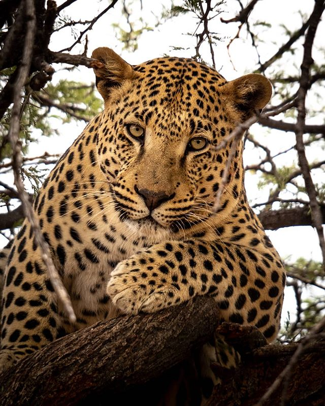 Hello there Kitty 🐆❤️ @okonjima_lodge has a conservation sanctuary for big cats in Namibia, that protects big kittens like this beautiful leopard. Thanks to @safari.frank for another amazing location!  Check out @africat_foundation to learn more about the conservation of Namibia's large carnivores.