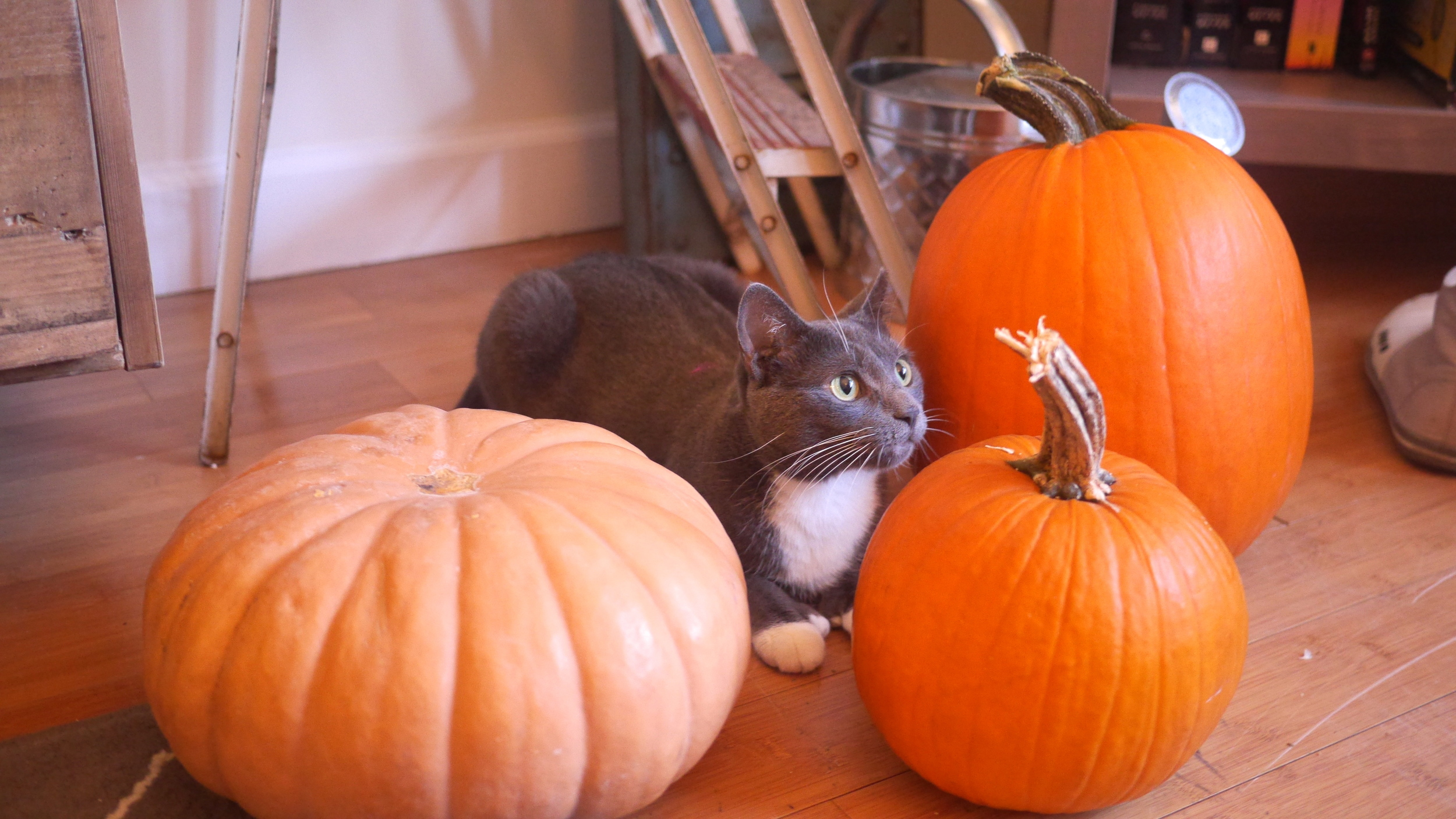 Renly trying to fit in with some pumpkins