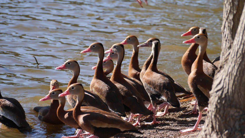 The ducks in NOLA have PINK BEAKS! Could that be cuter?