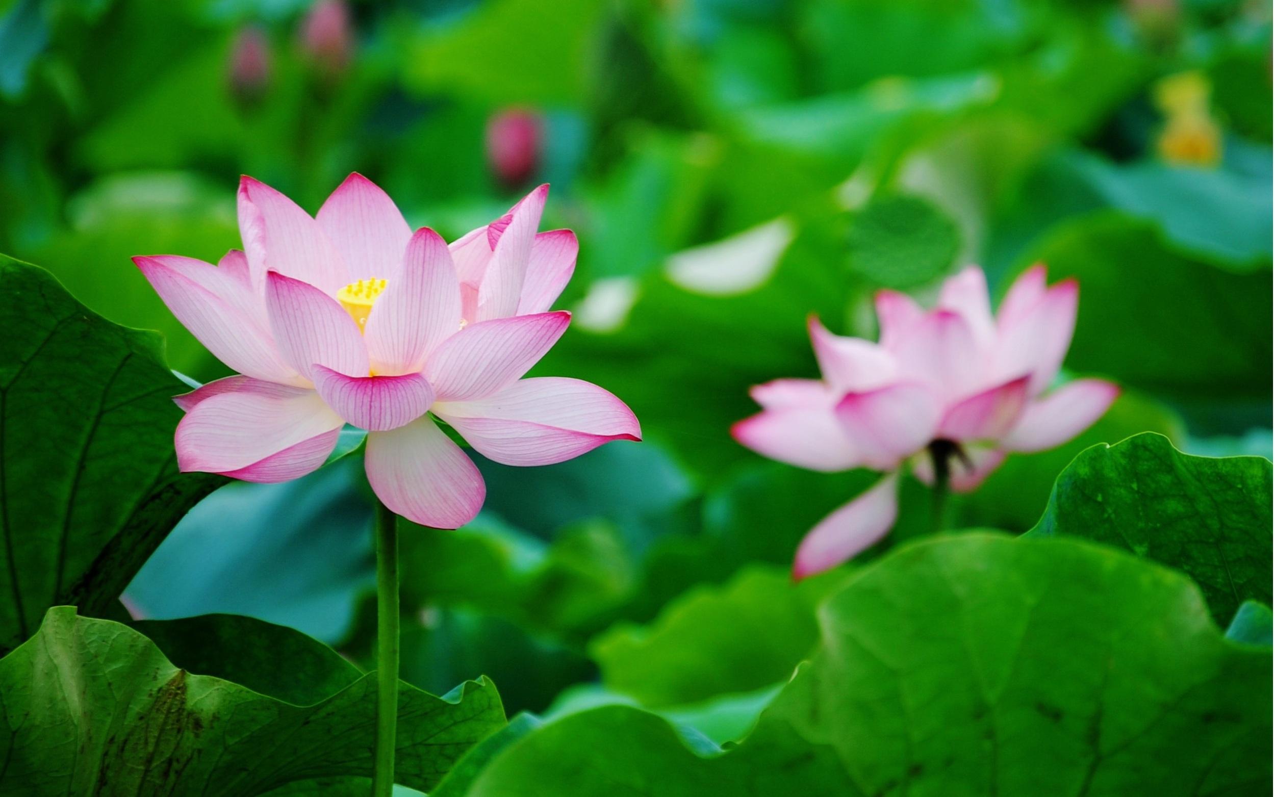 Two-lotus_2560x1600.jpg