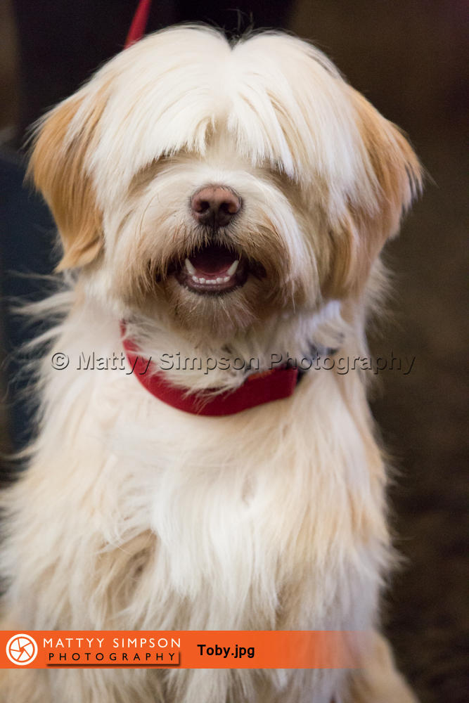 Toby - 1 year old Tibetan Terrier