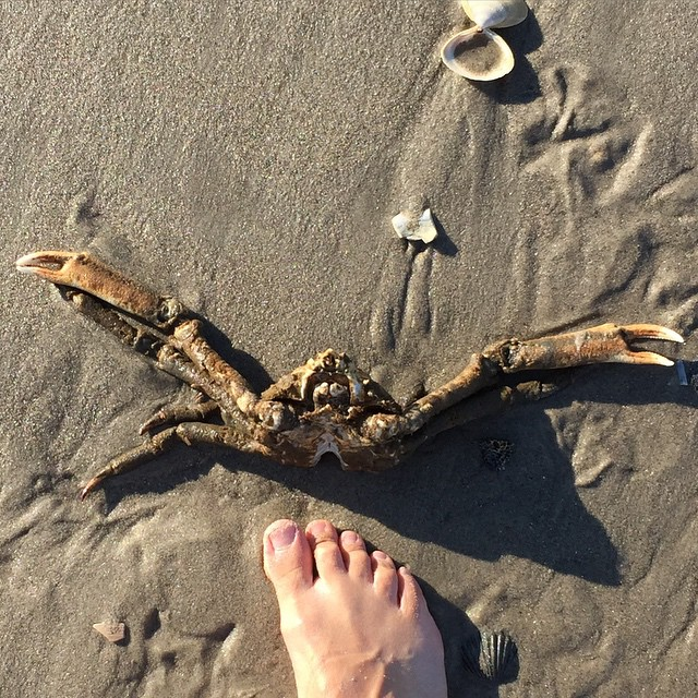 Found_this__beast_after_the__surfridernyc_X__outdoorfest__beachcleanup._This__spidercrab_lost_its_epic_battle_with_a__gull_but_still_looks_ready_to_fight.__OFNYC15__TripPixApp_by_heynow_tainow.jpg