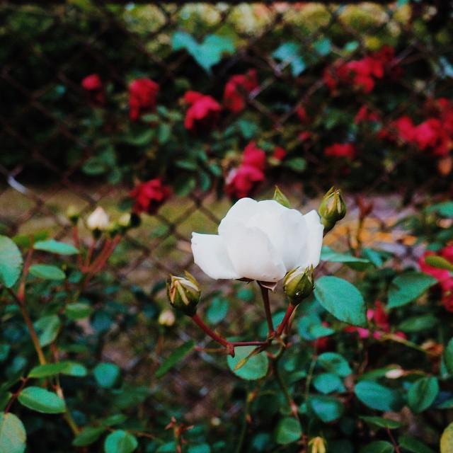 Doesn_t_feel_like_a_Friday._Tomorrow_will_be_a_Friday.__tearoses__flowers__danceback__OFNYC15__TripPixApp_by_vpventures.jpg