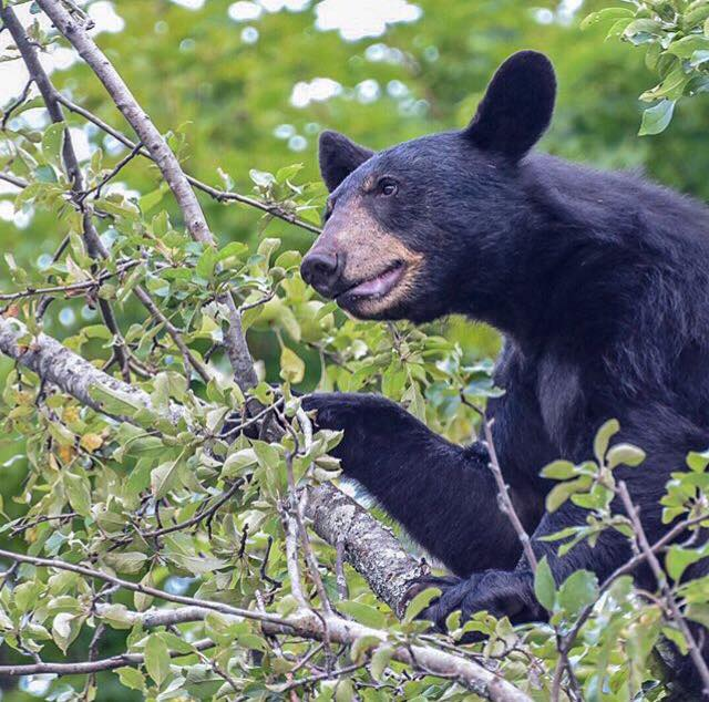 A black bear finding food in an apple tree. Photo taken by Matthew Haney on a guided hike with Catskill Mountain Wild.