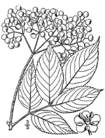 16-Elderberry.jpg