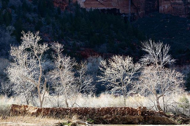 Another set of trees in Zion lit by the sun against a dark canyon wall. #zionnationalpark #zion #zionnps #nps #nationalpark #utah @zionnps