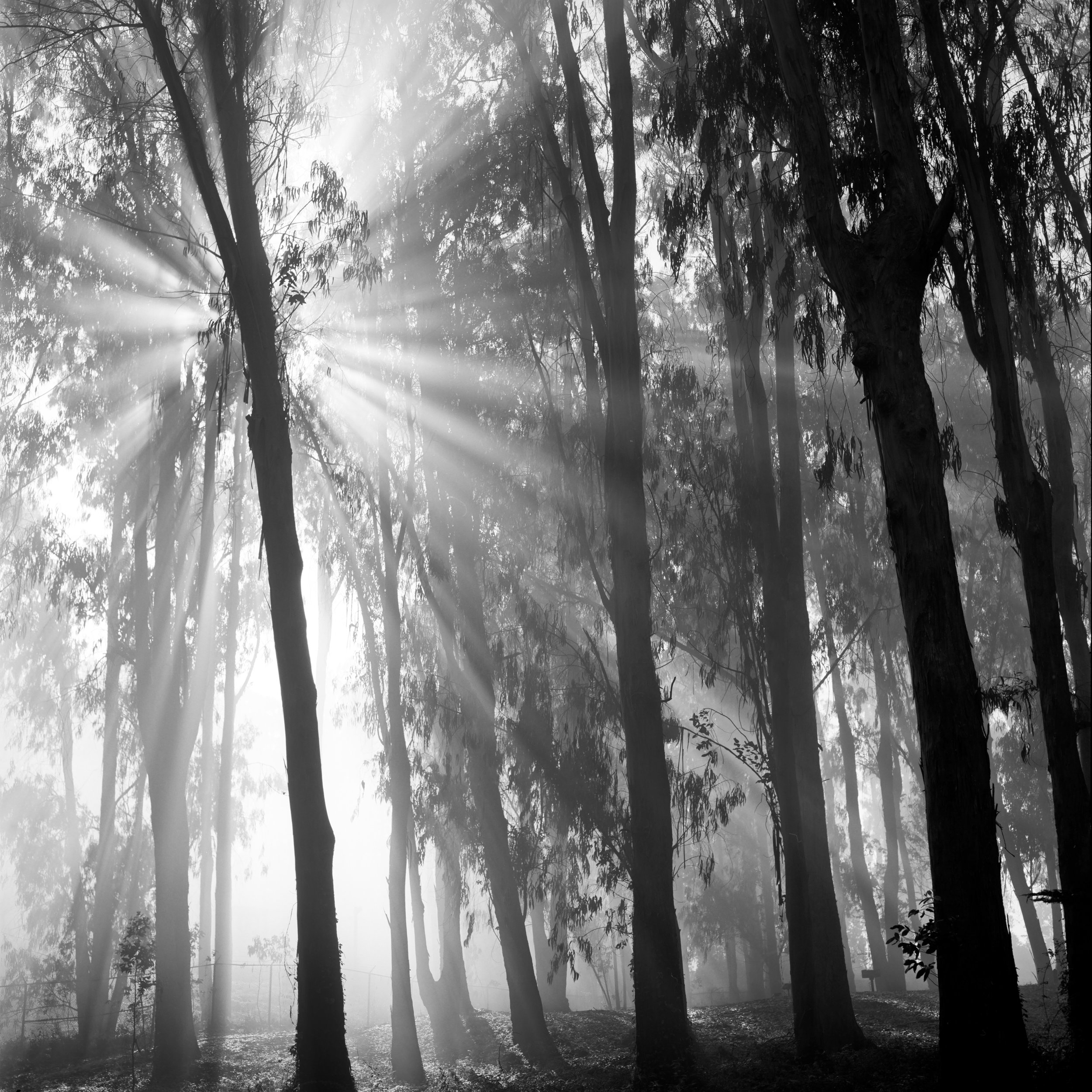 San Francisco presidio black white fog mist trees star flare