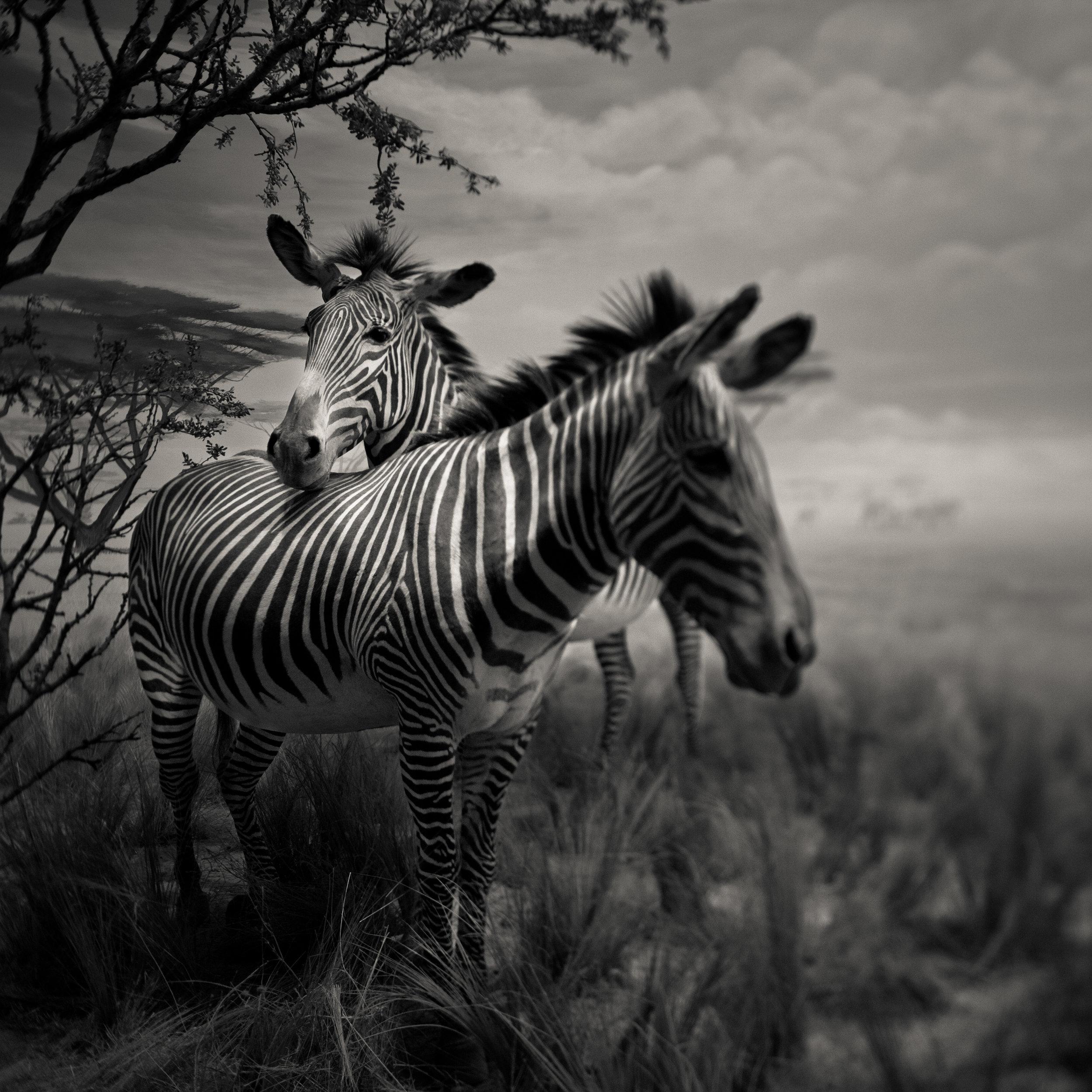 San Francisco academy science black white golden gate park zebra africa plains exhibit