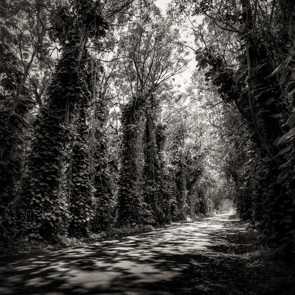 Kauai black white maluhia tree tunnel shadows