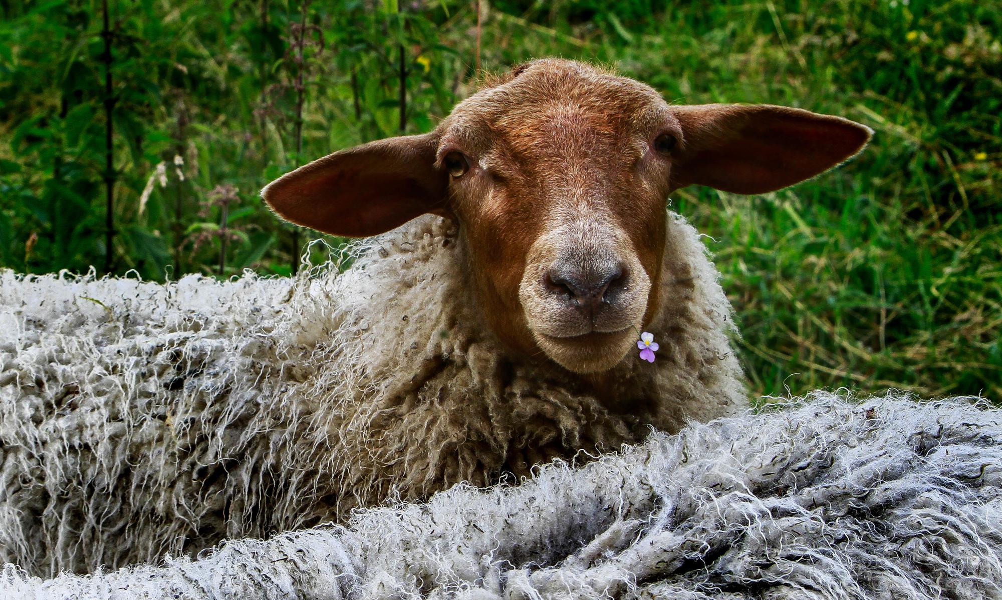 20120731-sheep.jpg