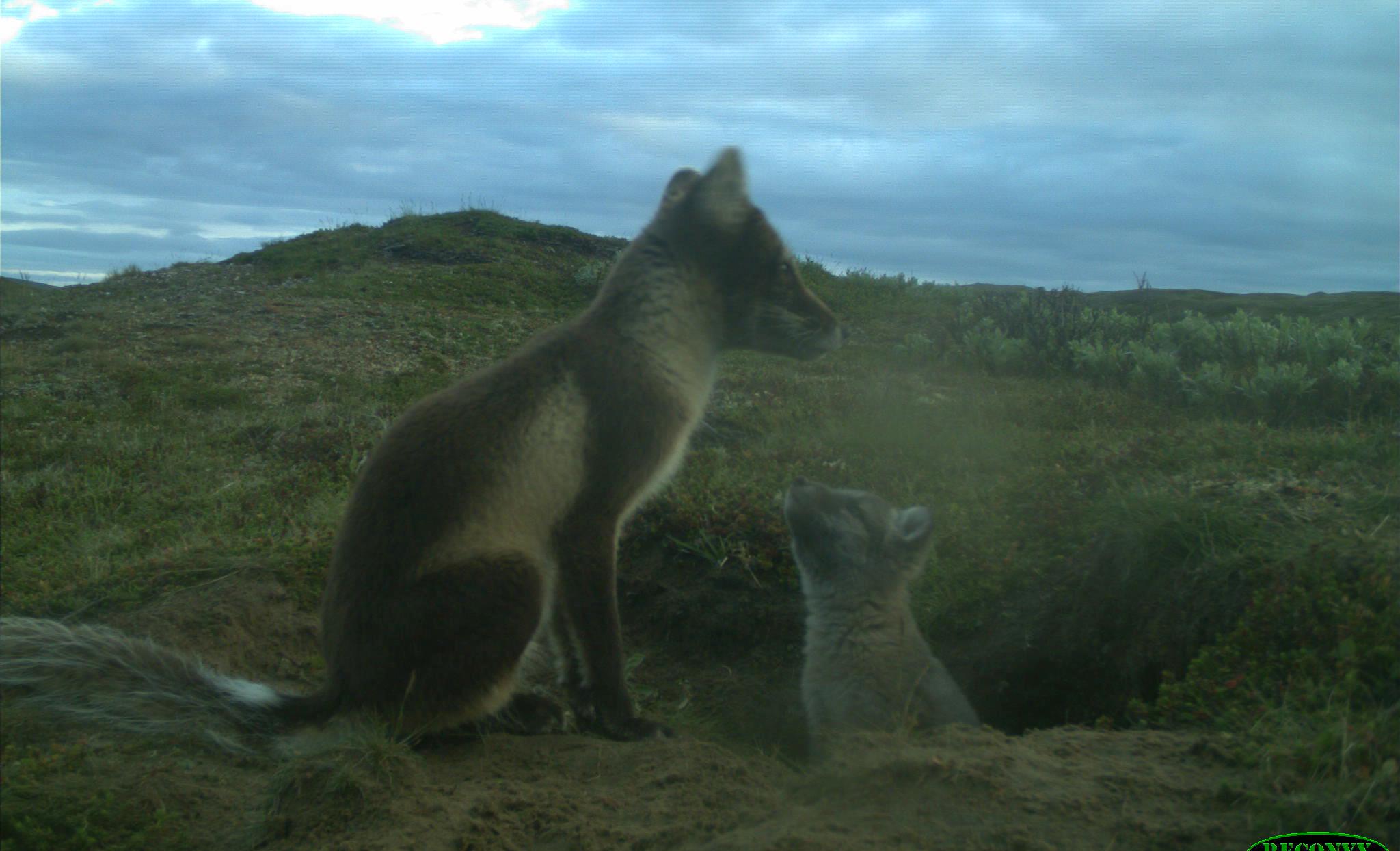 """Dette er et historisk bilde. For første gang på nesten 50 år er det i sommer registrert yngling av fjellrev i Forollhogna-området. Her """"Mor"""" sammen med en av sju valper. Foto: Avlsprogrammet NINA (Copyright)."""