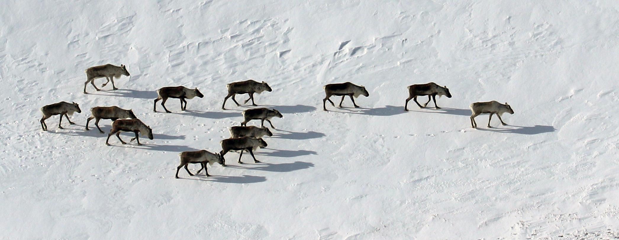 13 bukker fotografert vest for Storhiåsjøen. I en annen hop på samme sted var det 44 bukker. Foto: A. Nyaas