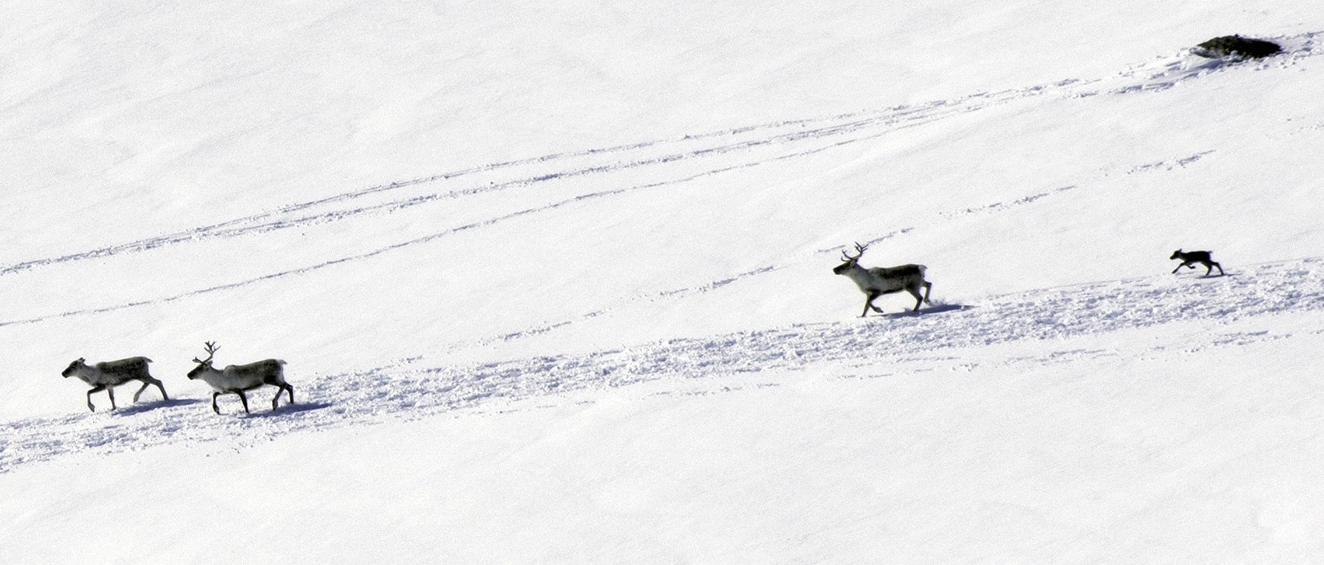 De to første kalvene ble registrert søndag, her en av dem. Foto: Stein Kaasin