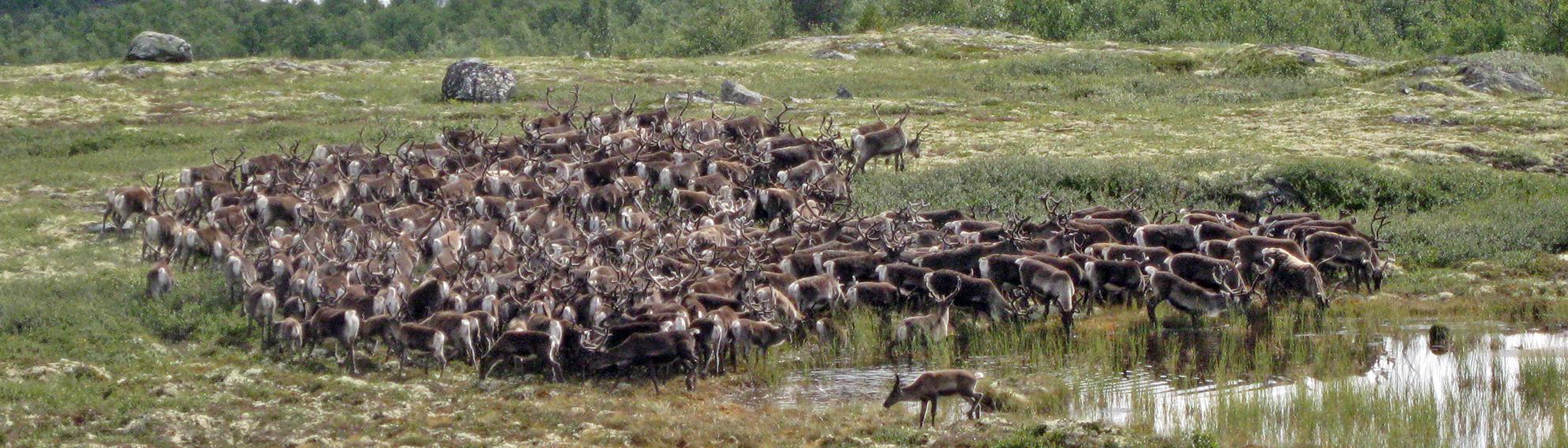 Ønsker du å jakte villrein til høsten? Da må du søke nå. Forollhogna villreinutvalg har 20 dyr til disposisjon i høst.  Arkivfoto 2005: Arne Nyaas