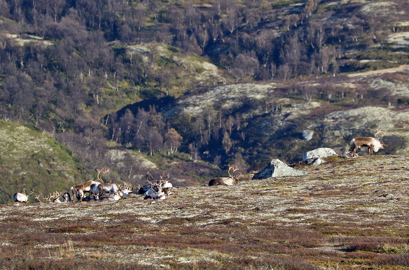 Flokkene er raske med å gå til ro, her en mindre hop i østhellinga av Sletthøa. Foto: Arne Nyaas