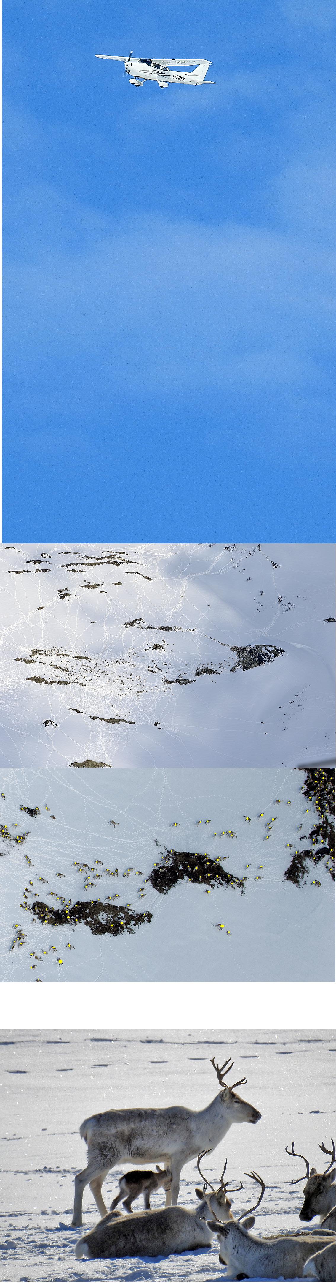 Fire bilder (sammensatt) fra minimumstellinga fredag før årsmøtet: Flyet fotgrafert av Ingebrigt Storli, tellebildet (904 dyr), et utsnitt av tellebildet og nederst, et bilde av en nesten nyfødt kalv (foto Ingebrigt Storli). Oppsynet som er i fjellet for å følge kalvinga, har så langt registrert sju kalver. Foto tellebilder: Arne Nyaas