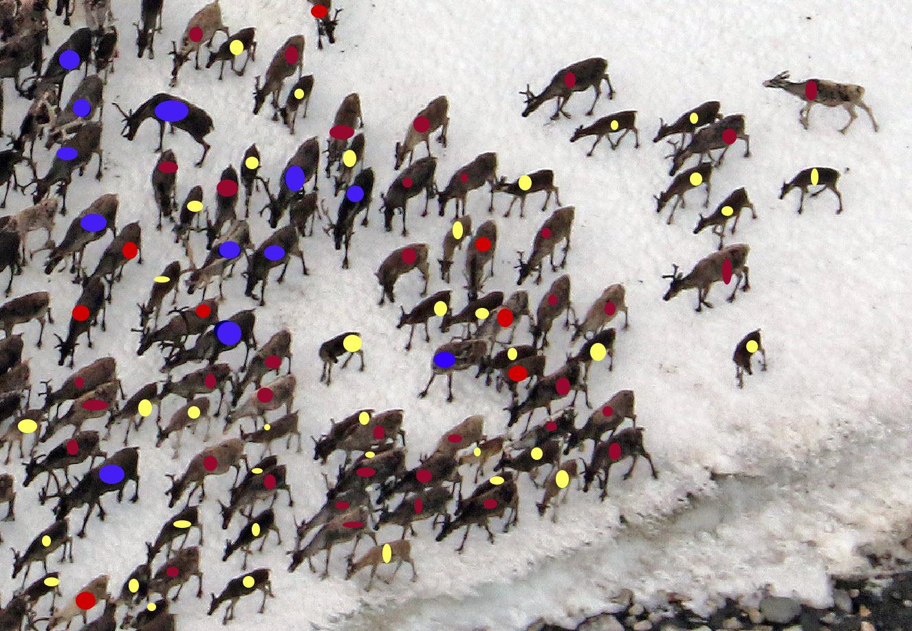 Utsnitt av flokken fotografert i Sandfjellet 22. juli 2017. Her er bukkene merket med blått, simlene med rødt og kalvene med gult. Foto: A. Nyaas