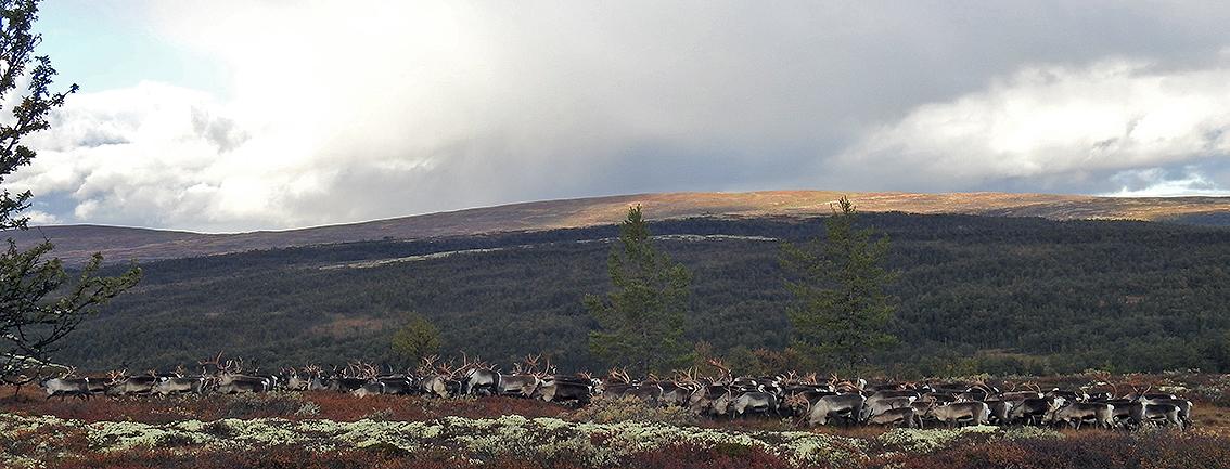 Dyr på tur opp fra Magnhildkroken. Bildet er tatt i går. Foto: Ingebrigt Storli