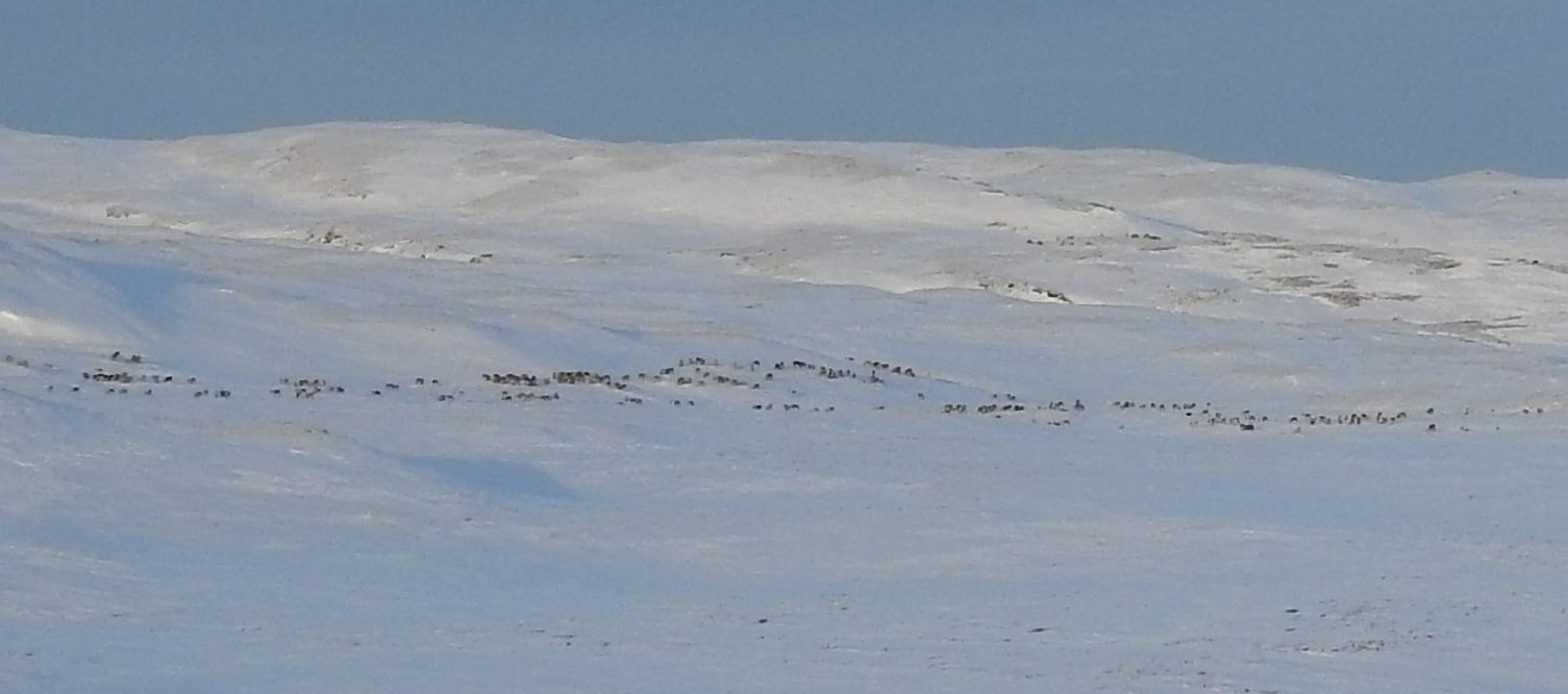 Dyr på trekk opp i Sandfjellet rett vest for Gorsetvollen ved Storhiåsjøen. Bildet er tatt søndag 17. desember 2017. Utsnitt. Foto: Ingebrigt Storli