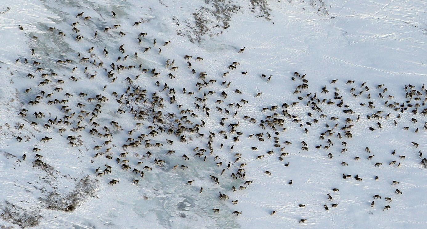Utsnitt av fostringsflokken på totalt 878 dyr (Langbekkdalstangen i Midtre Gauldal). Foto: A. Nyaas
