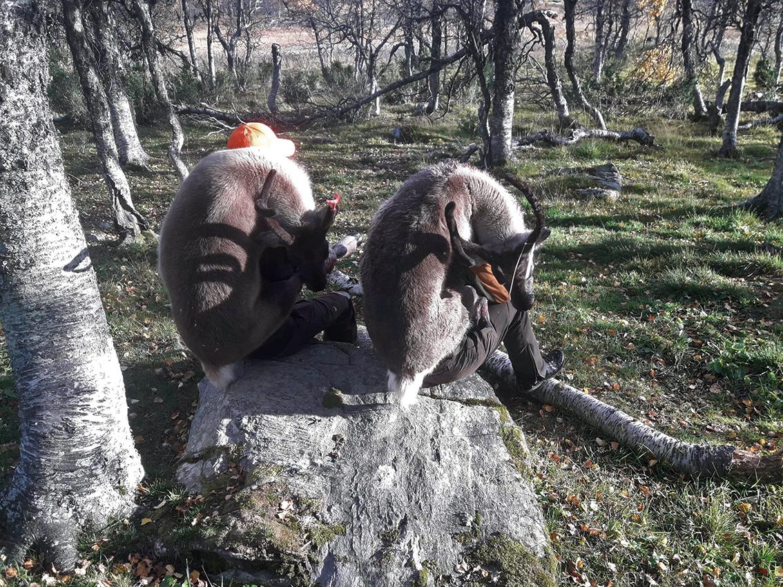 Disse kalvene veide 27 og 30 kilo. Foto innsendt av Jakob Nordstad.