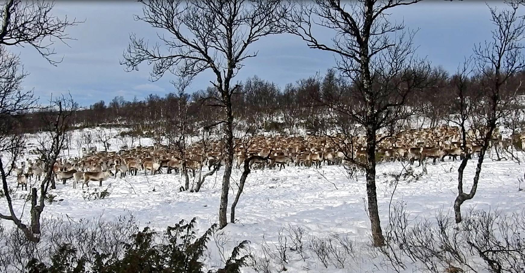 Mye av villreinen i Forollhogna er nå samlet på Kvikne. Fjelloppsyn Ingebrigt Storli tok dette bildet i går.