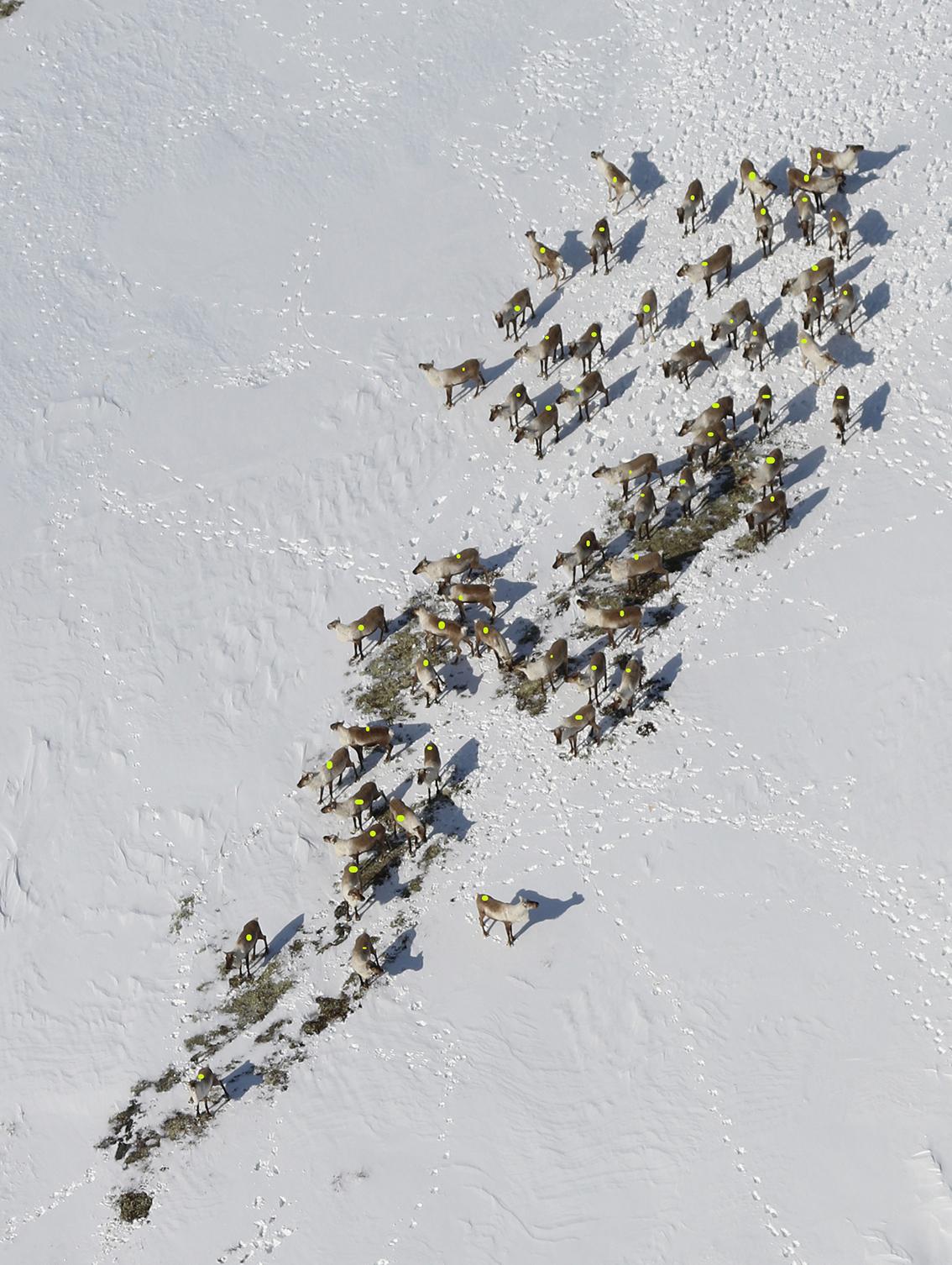 Bukkene liker seg sør for Ya. I hele vinter har det gått bukker på Eidsfjellet. I denne hopen var det 59 dyr. Foto: Arne Nyaas