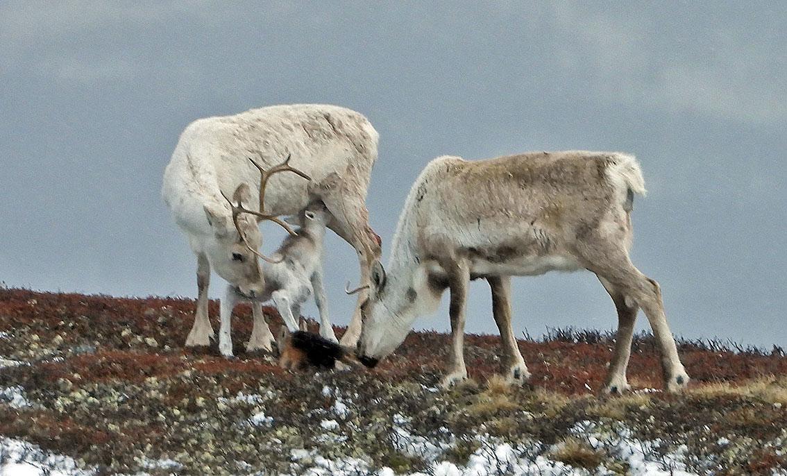 To simler med hver sin kalv. Tre av fire feltperioder i vår er nå unnagjort.