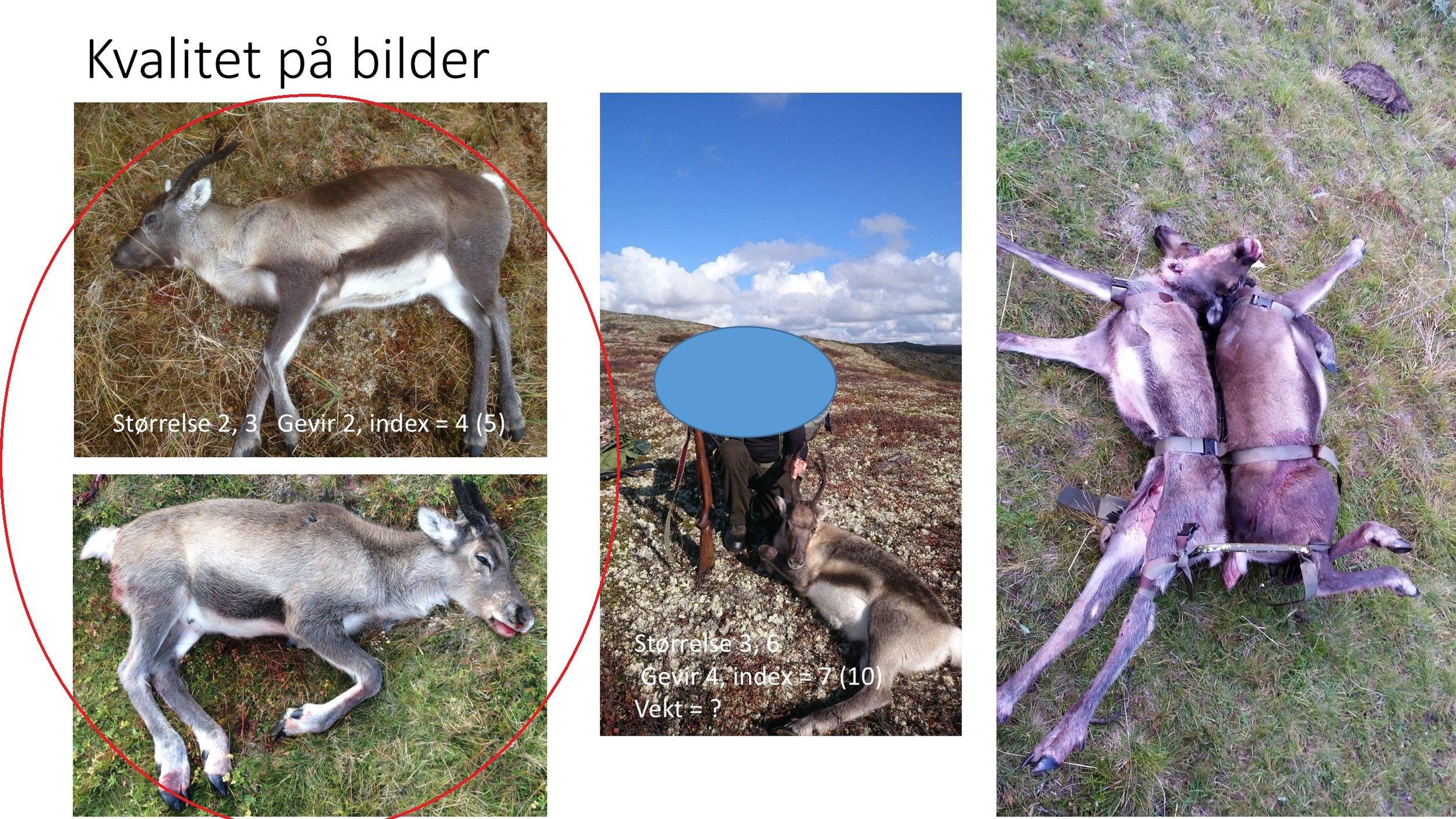 De to bildene til venstre er gode, men de hadde blitt enda bedre om jegerne hadde lagt børsa si på langs oppå dyret. Bildene i midten og til høyre er vanskelige å bruke fordi de ikke viser dyrene godt nok.