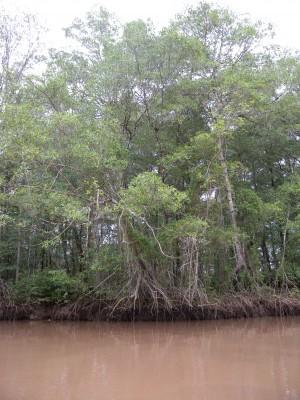 mangroove.jpeg