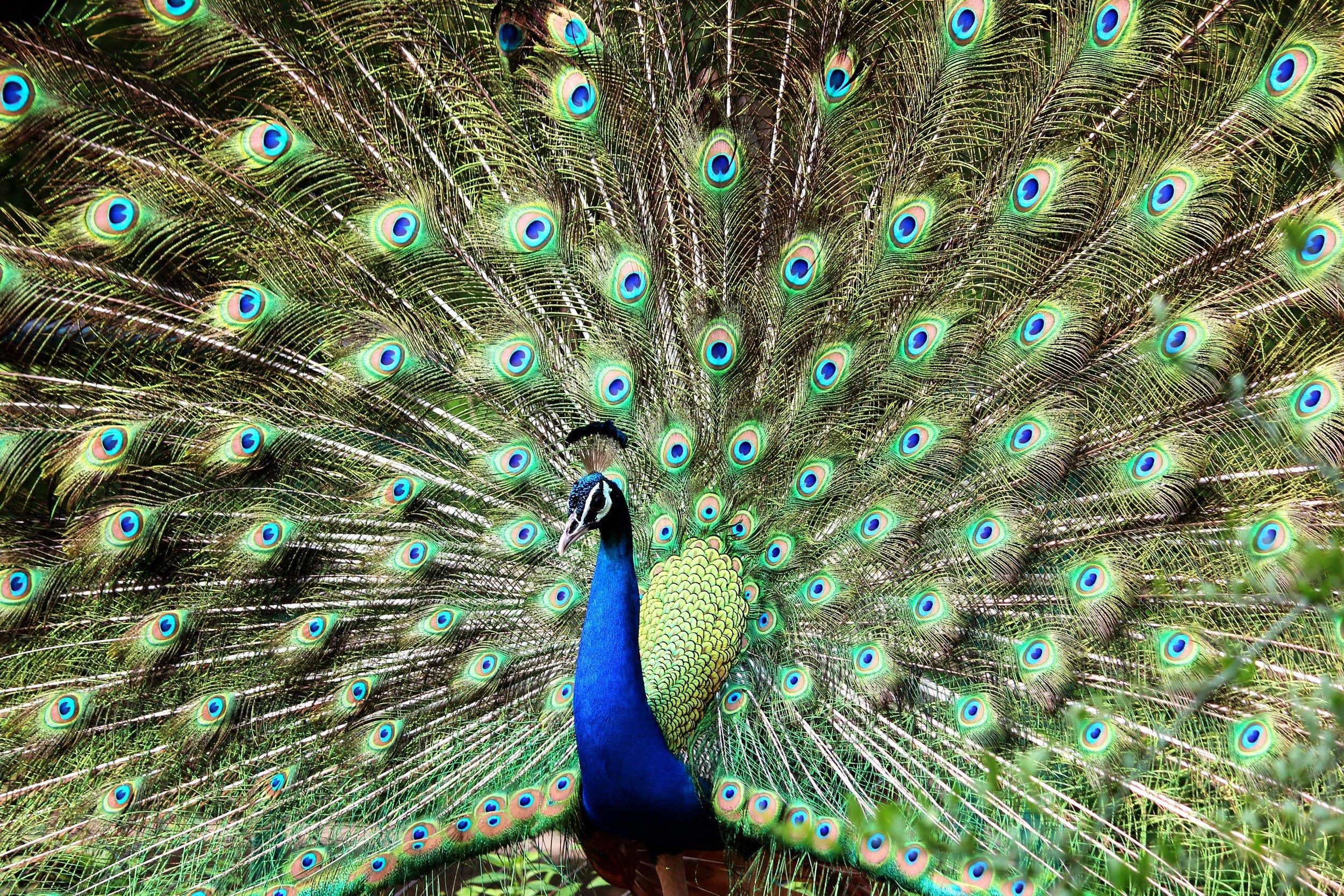 source pexels Peacock/Phoenix