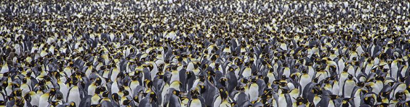 King Penguin Colony - Salisbury Plain, South Georgia Island