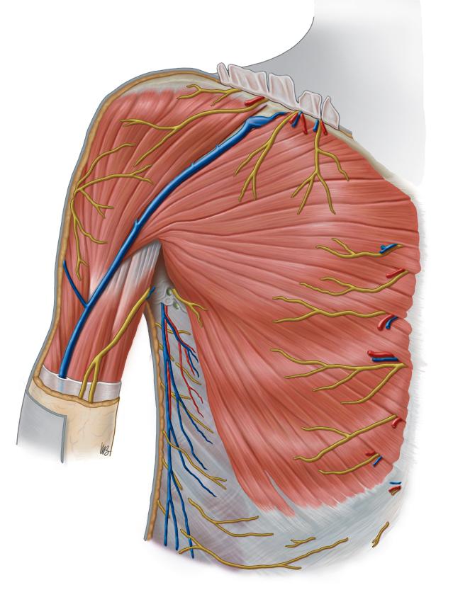 Pectoral Anatomy (Clemente Atlas)