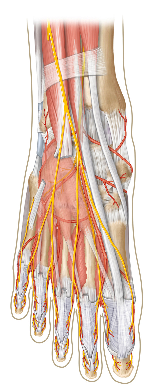 Superficial Anterior Anatomy of the Foot/Ankle