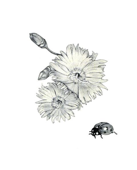 dianthus+ladybug.jpg